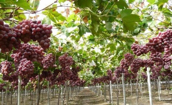 آموزش روش های احداث باغ داربستی انگور